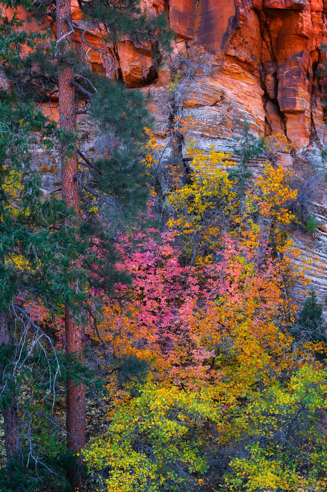 Utah, Zion, National Park, Fall, Color, Canyon, Surprise, Pine Trees, limited edition, photograph, fine art, landscape, photo