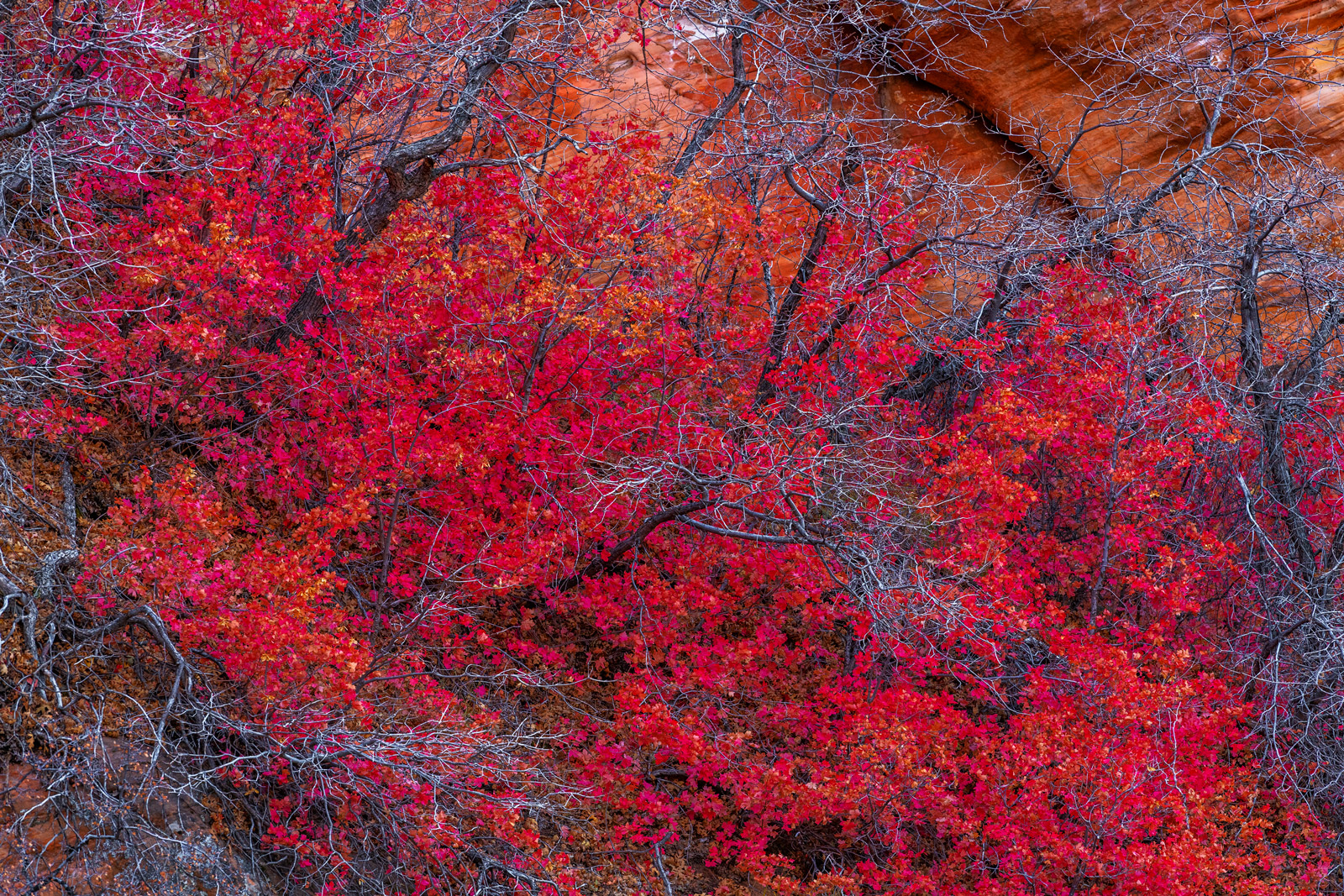 Utah, Zion, National Park, Canyon, Fall, Color, Red, Yellow, Orange, limited edition, photograph, fine art, landscape, photo