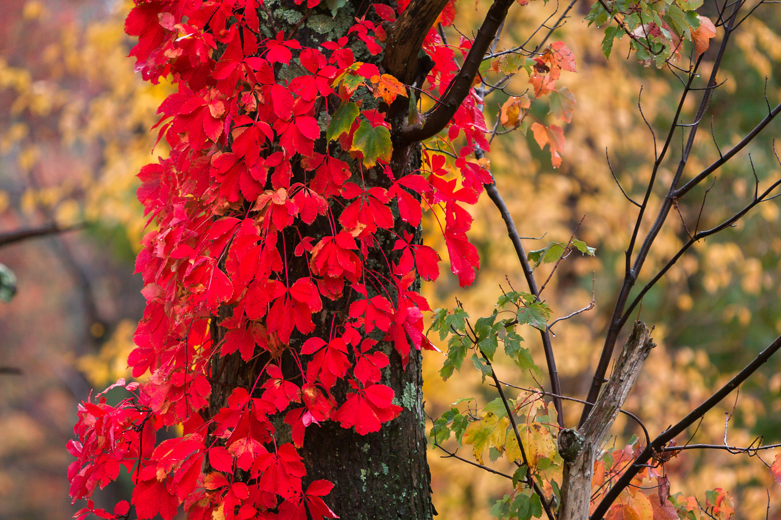 Virginia, Shenandoah, Fall, Color, Red, fall color, photo