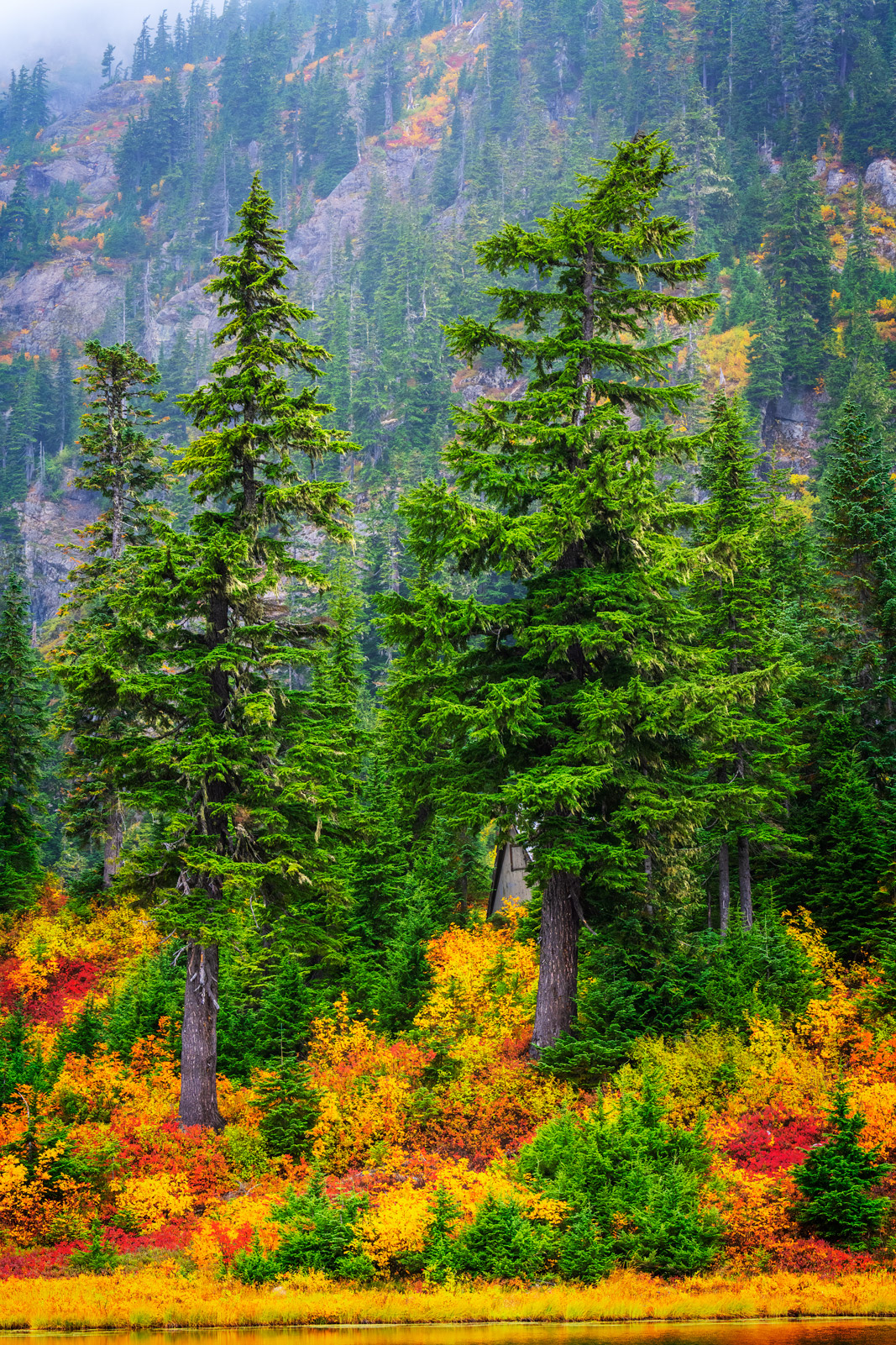 A Limited Edition, Fine Art photograph of fall color under two large pine trees in North Cascade National Park in Washington....