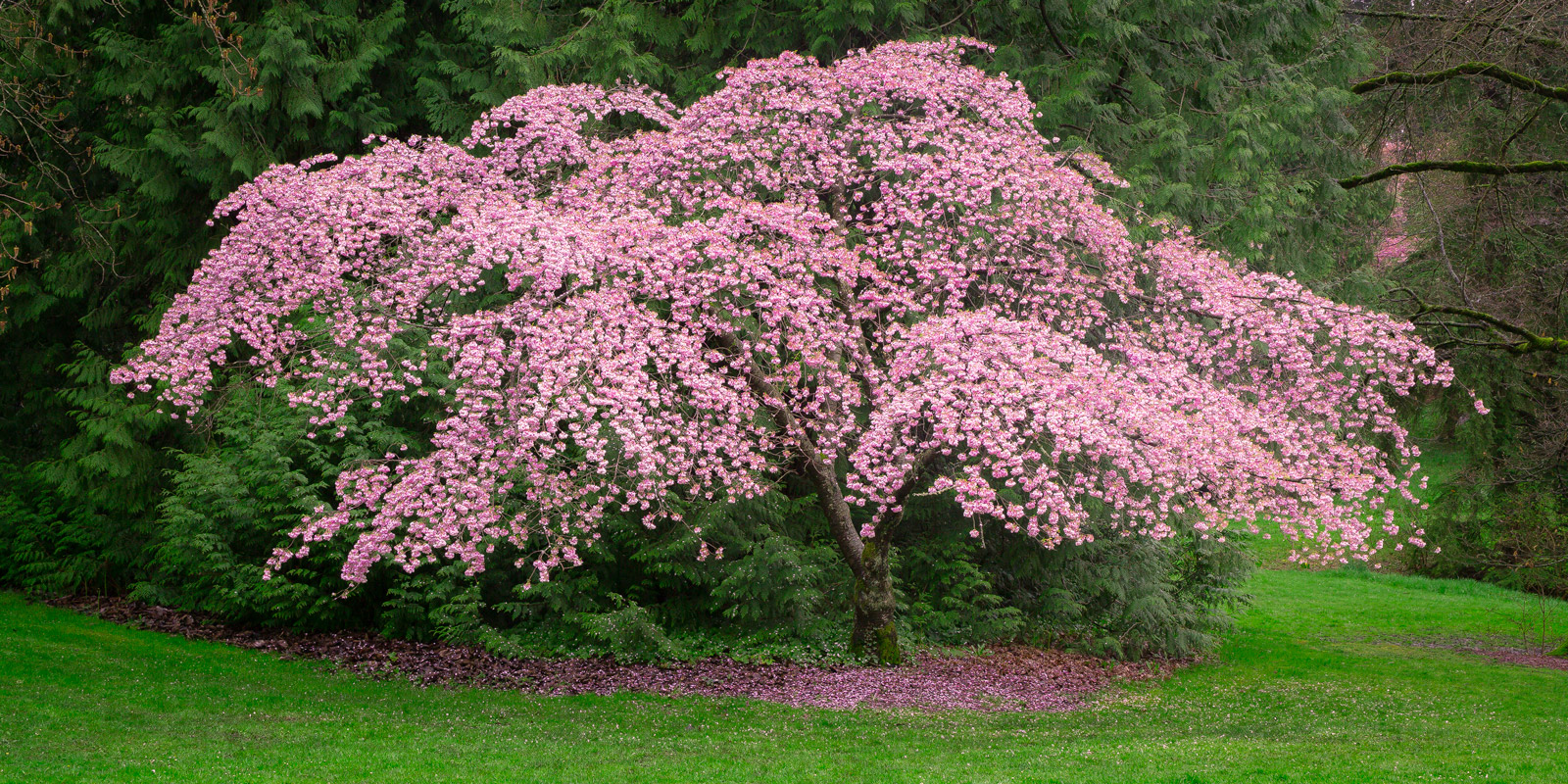A Limited Edition, Fine Art photograph of a cherry tree with pretty pink blossoms in a peaceful setting in a park in Seattle...