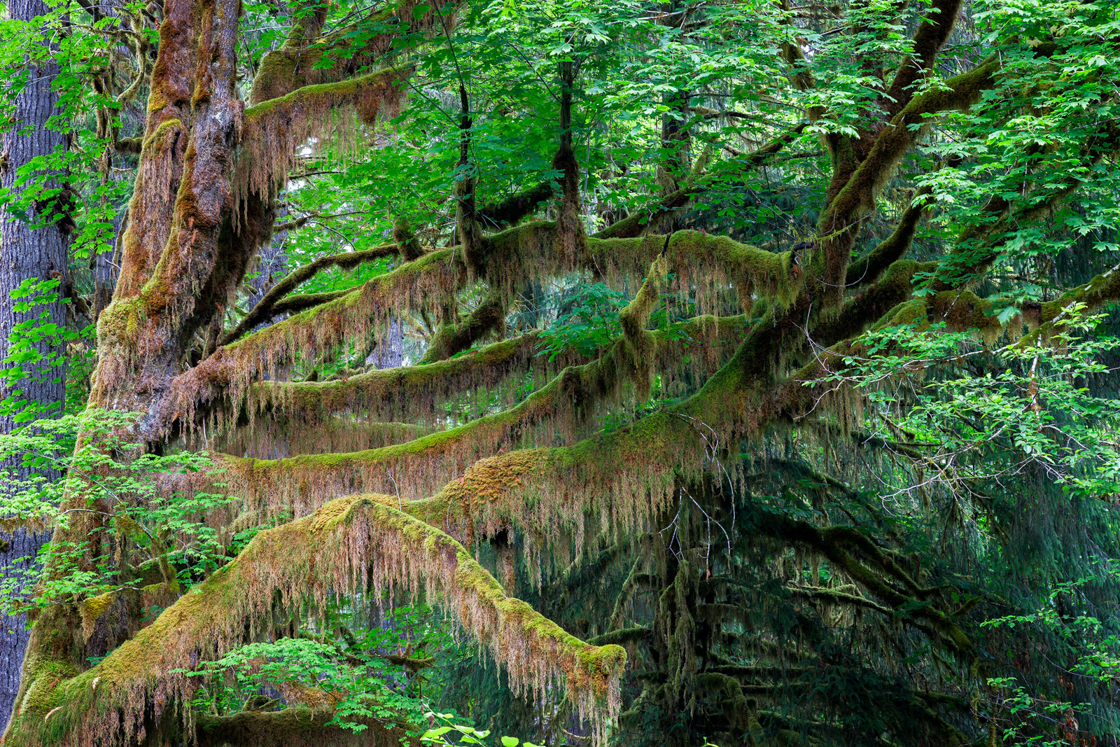 A Limited Edition, Fine Art photograph of the Hoh Rain Forest with moss hanging like draperies from a large tree limb in Olympic...