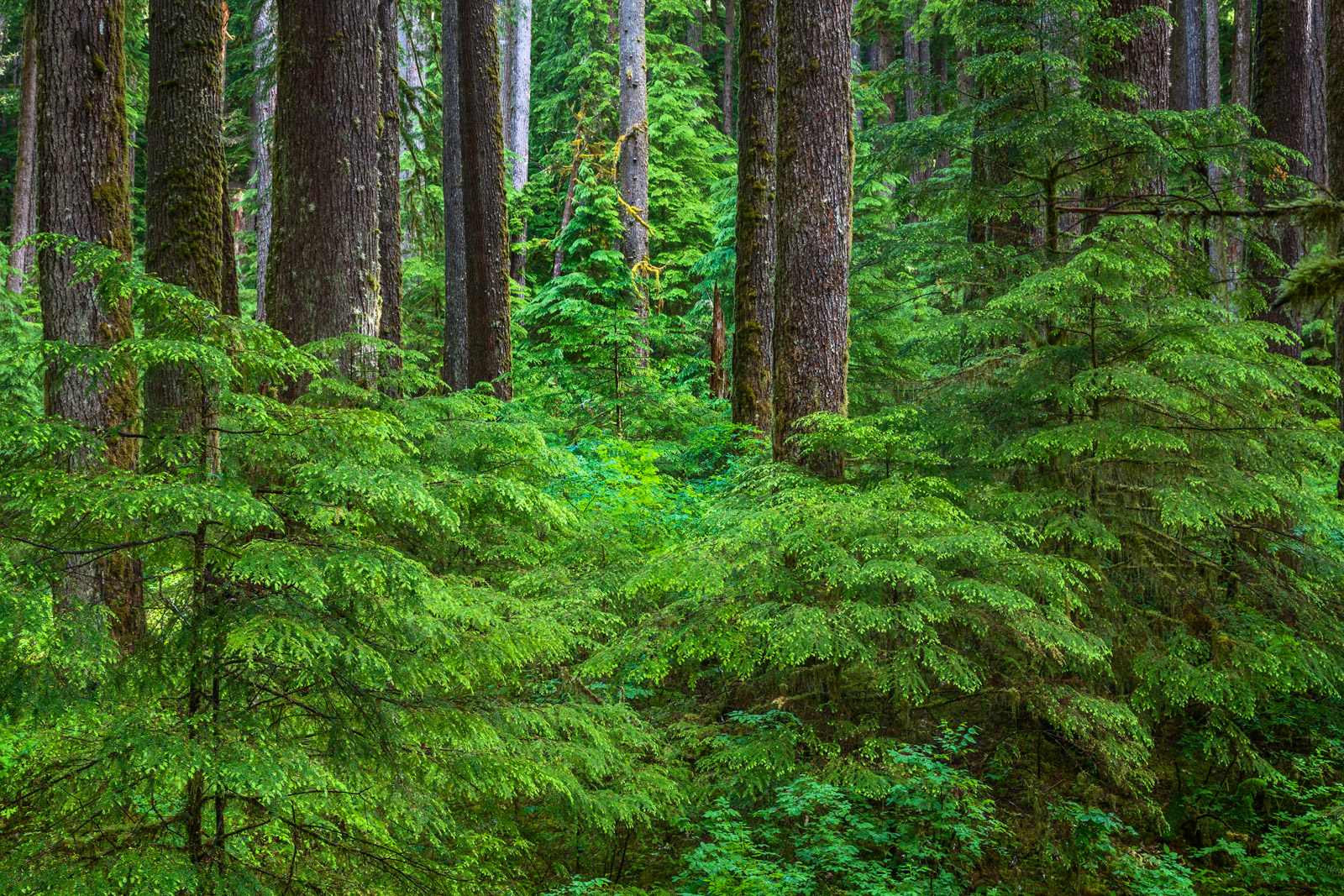 A Limited Edition, Fine Art photograph of trees and other green foliage in the Hoh Rainforest of Olympic National Park, Washington...