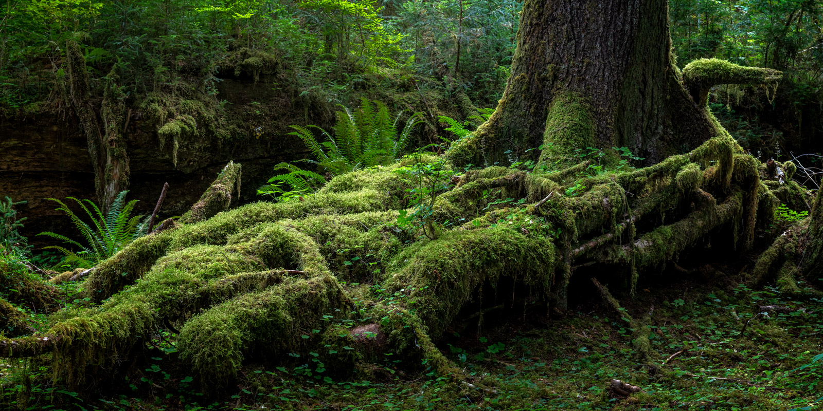 Washington, Hoh, Rain Forest, Olympic, National Park, Tree, Fine Art, Landscape, Photograph