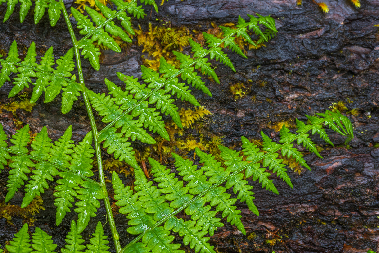 A Limited Edition, Fine Art photograph of the contrast of color of a bright green fern on a dark log in the Hoh Rainforest of...