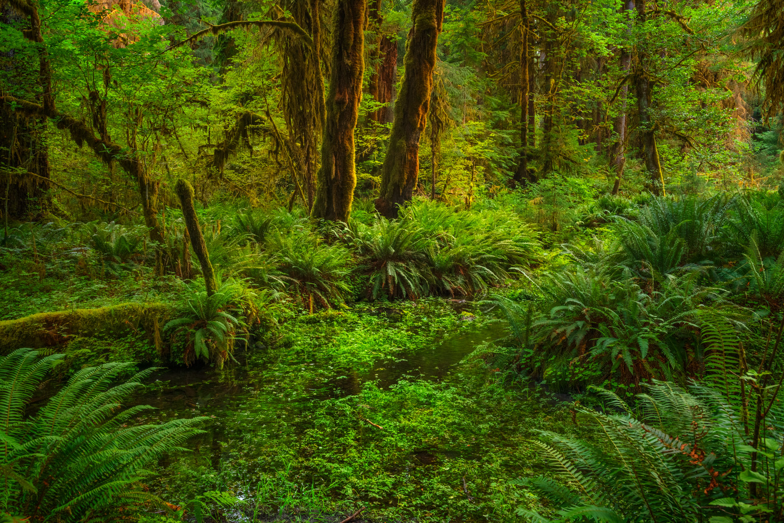 Washington, Hoh Rain Forest, Olympic National Park, Forest, Tree, Stream,, photo