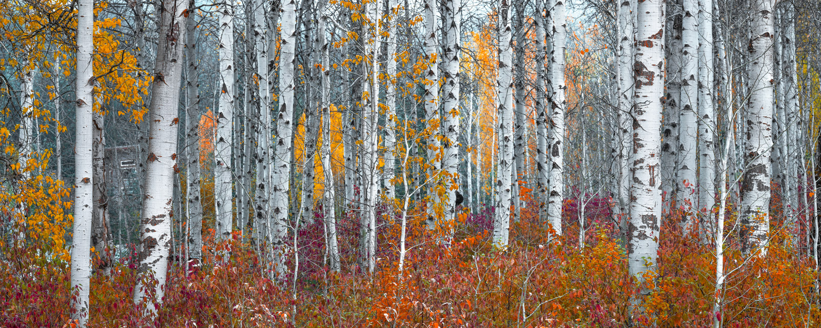 Washington, Fall, fall color, birch, trees, photo