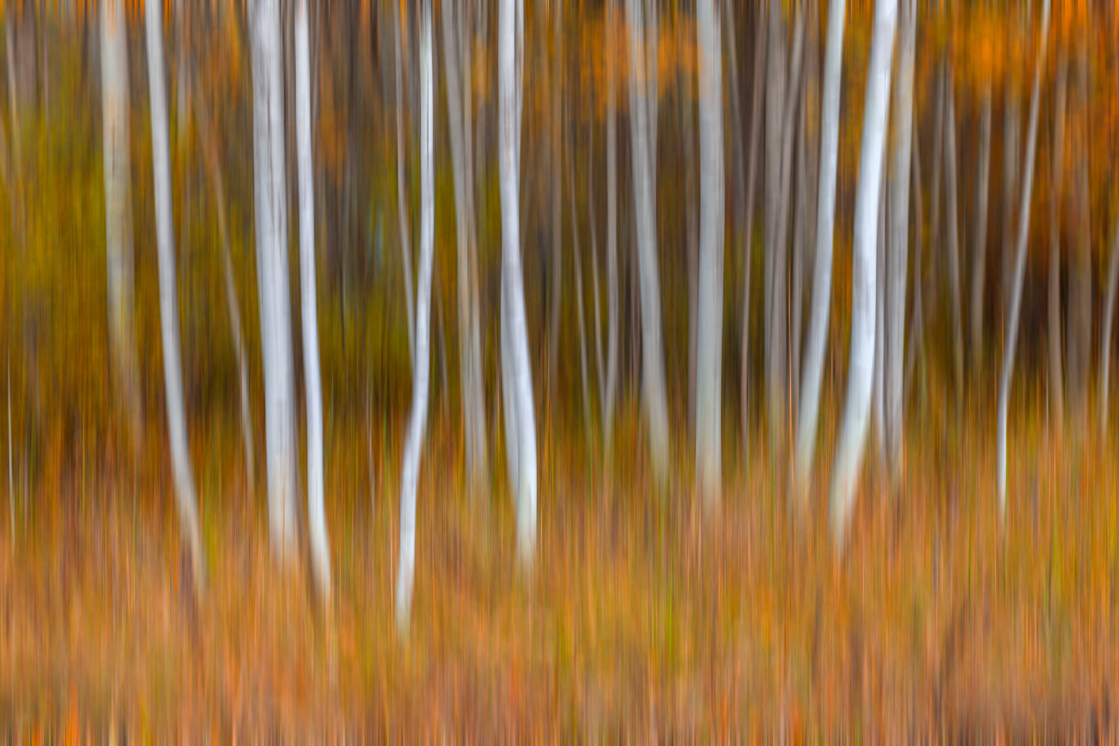 A Limited Edition, Fine Art abstract photograph of golden ground cover beneath Birch trees in the fall. Available as a Fine Art...