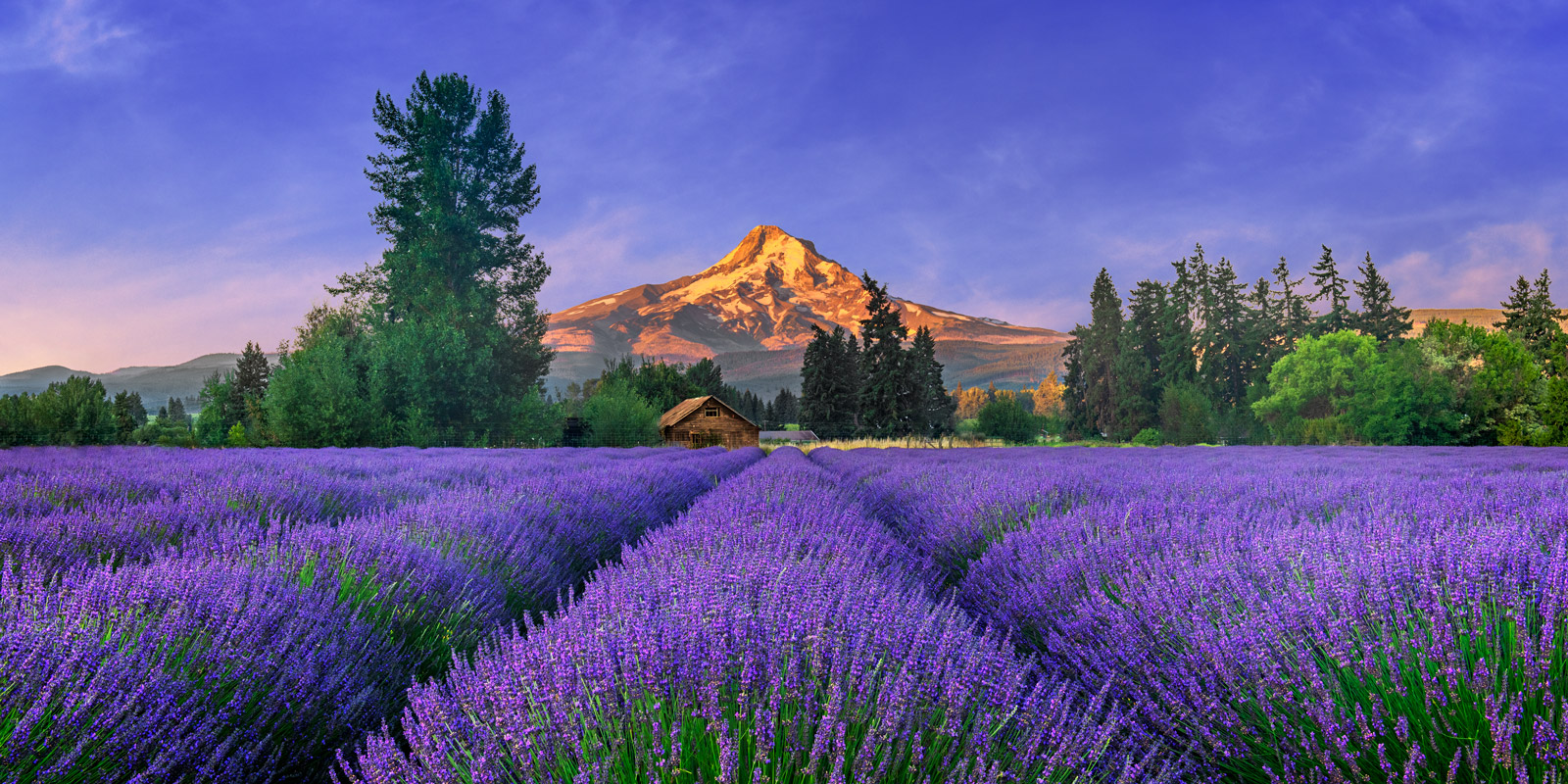 A Limited Edition, Fine Art panoramic photograph of brilliant purple lavender in bloom in front of Mount Hood in Oregon at sunrise...
