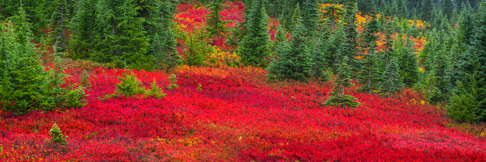 A Limited Edition, Fine Art panoramic photograph of red fall color in the field in front of Mount Rainier in Washington. Available...
