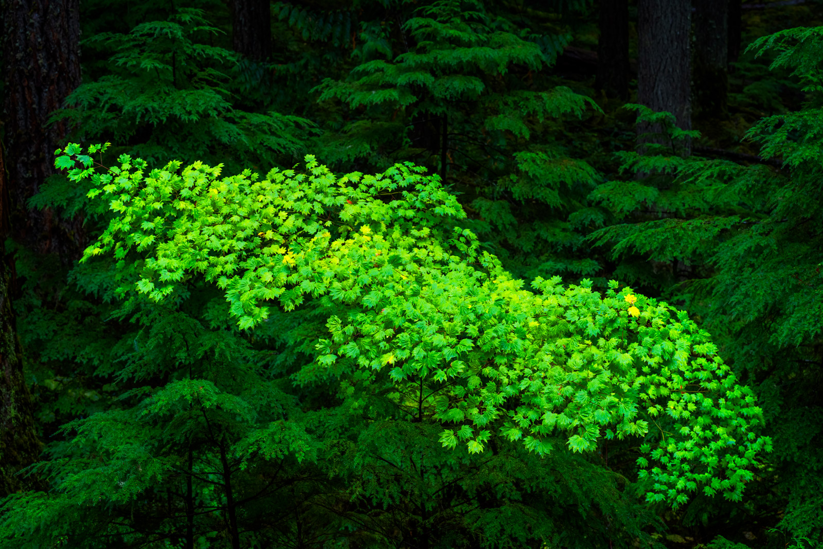 A Limited Edition, Fine Art photograph of a bright green tree in the dark forest in Washington. Available as a Fine Art print...