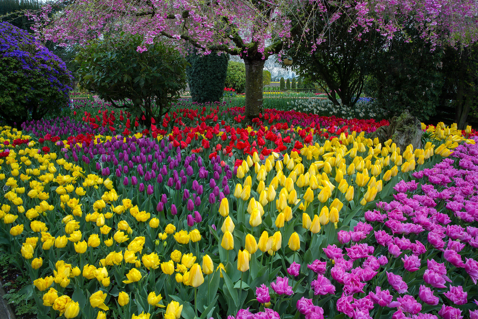 A Limited Edition, Fine Art photograph of a multitude of colors of tulips blooming in a setting beneath a flowering tree in the...