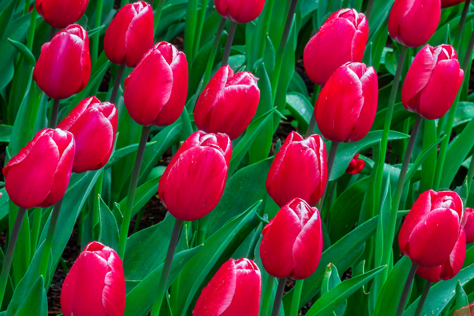 A Limited Edition, Fine Art photograph of a closeup of a group of red tulips and green leaves in the spring in the Skagit Valley...