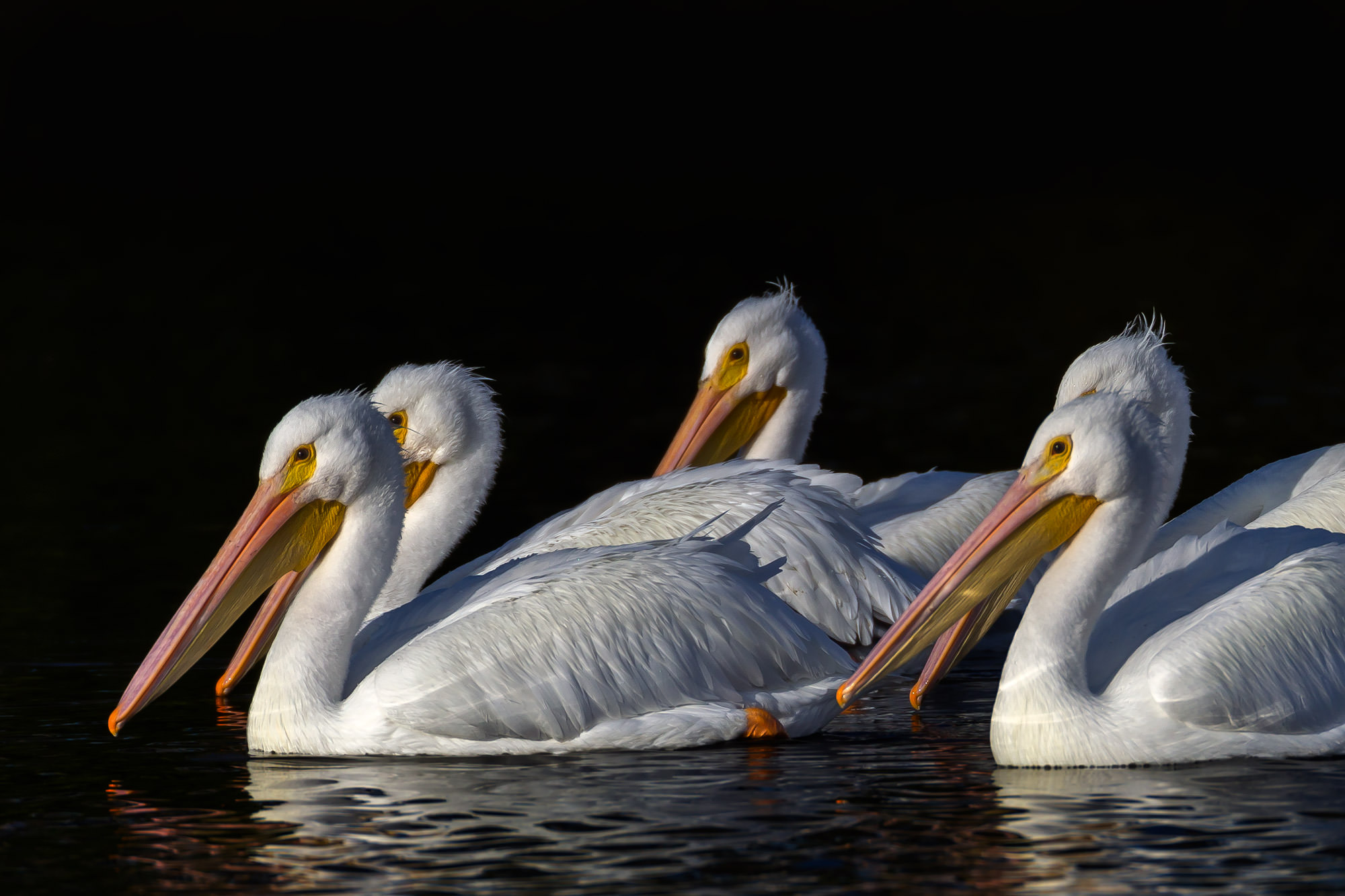 White Pelican Fine Art Photography A Limited Edition photograph of a group of White Pelicans swimming against a black background...