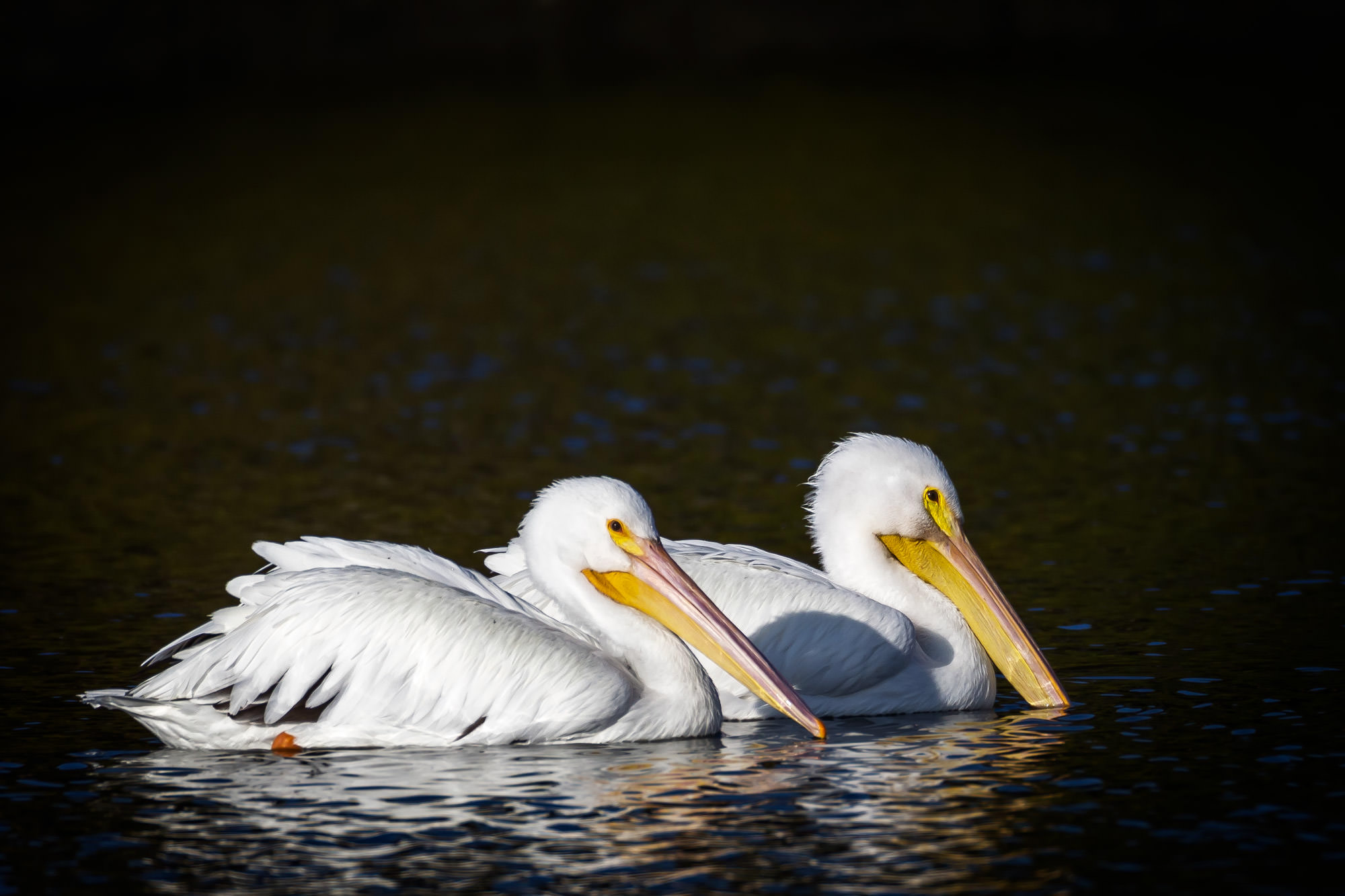 Pelican, White Pelican, Florida, limited edition, photograph, photo