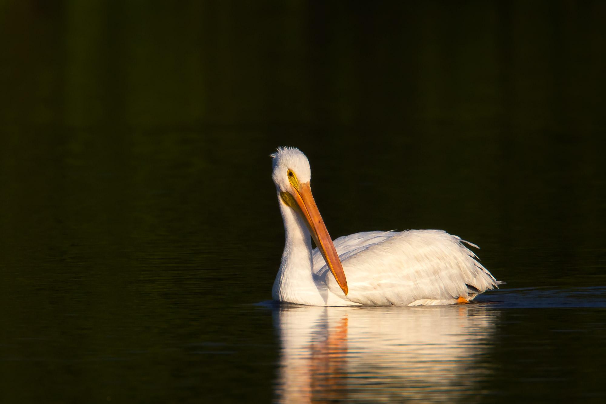 Pelican, White Pelican, Florida, limited edition, photograph, photo