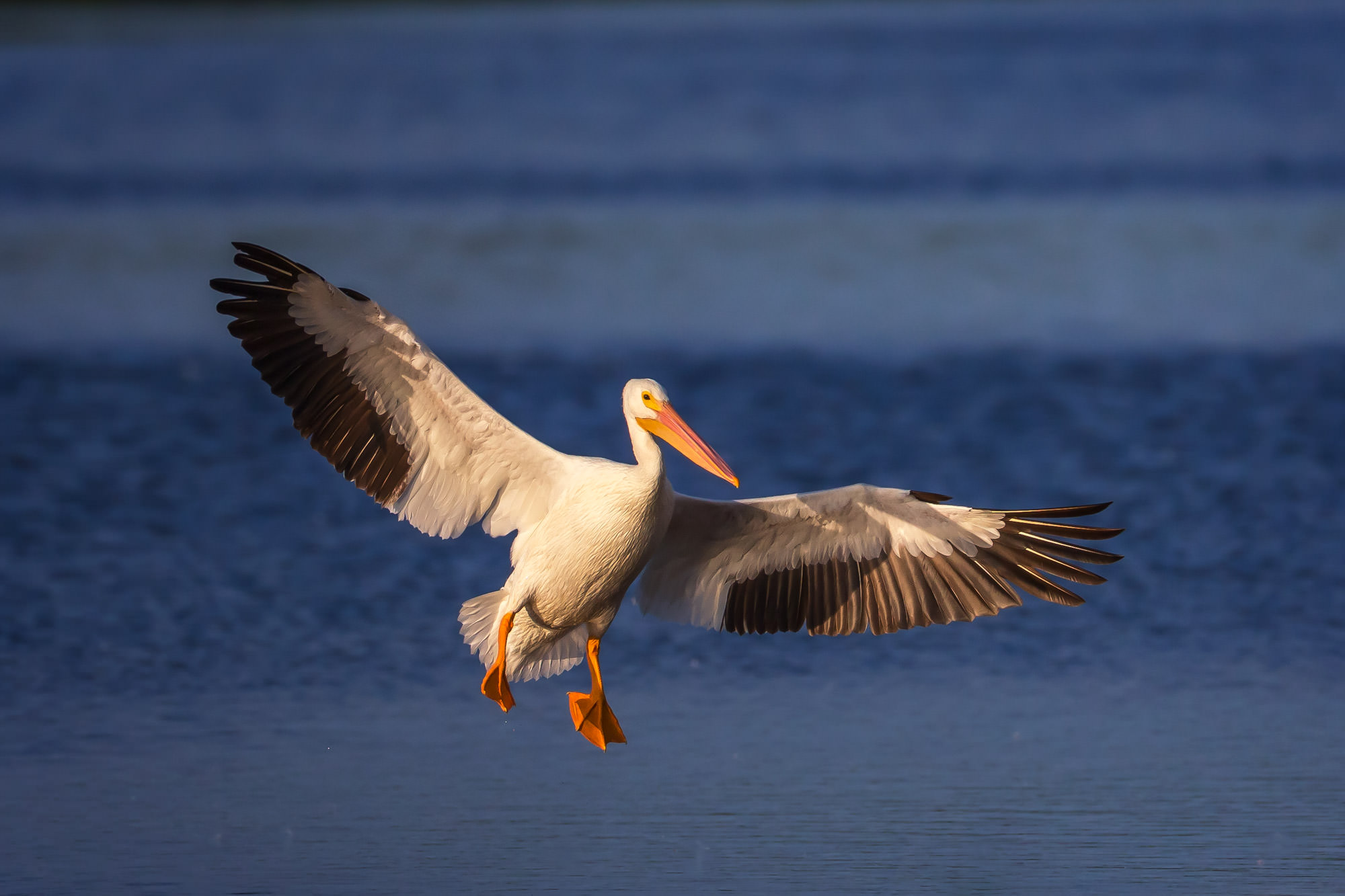 White Pelican Fine Art Photography A Limited Edition photograph of a White Pelican coming in for a landing with its gear down...