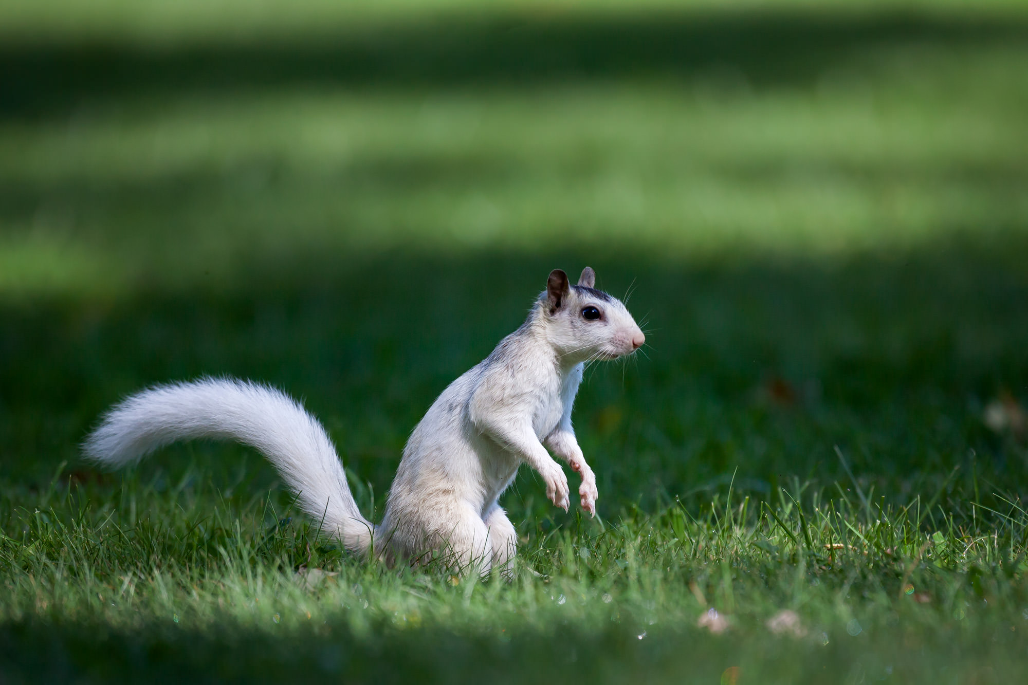 White Squirrel, North Carolina, Pisgah, Forest, limited edition, photograph, fine art, wildlife, photo