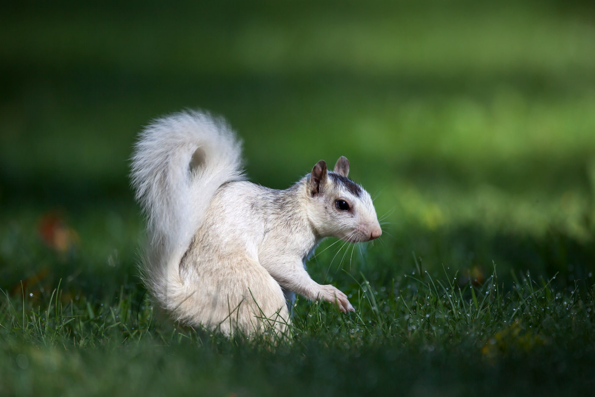White Squirrel Fine Art Photography A Limited Edition photograph of a White Squirrel with a big fluffy tail in the grass at the...