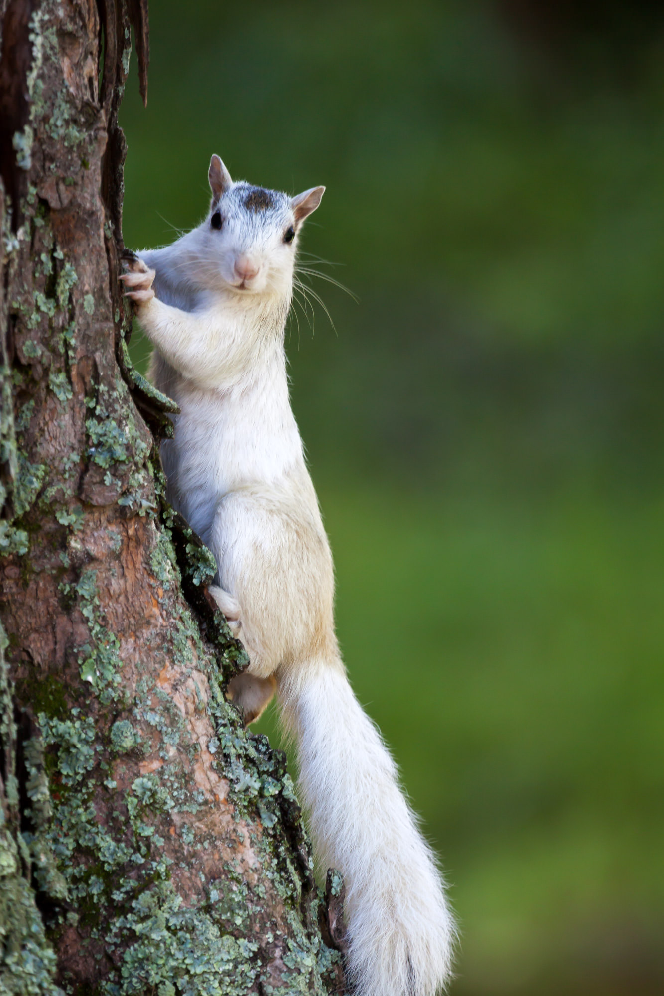 White Squirrel, North Carolina, Pisgah, Forest, Tree, limited edition, photograph, fine art, wildlife, photo