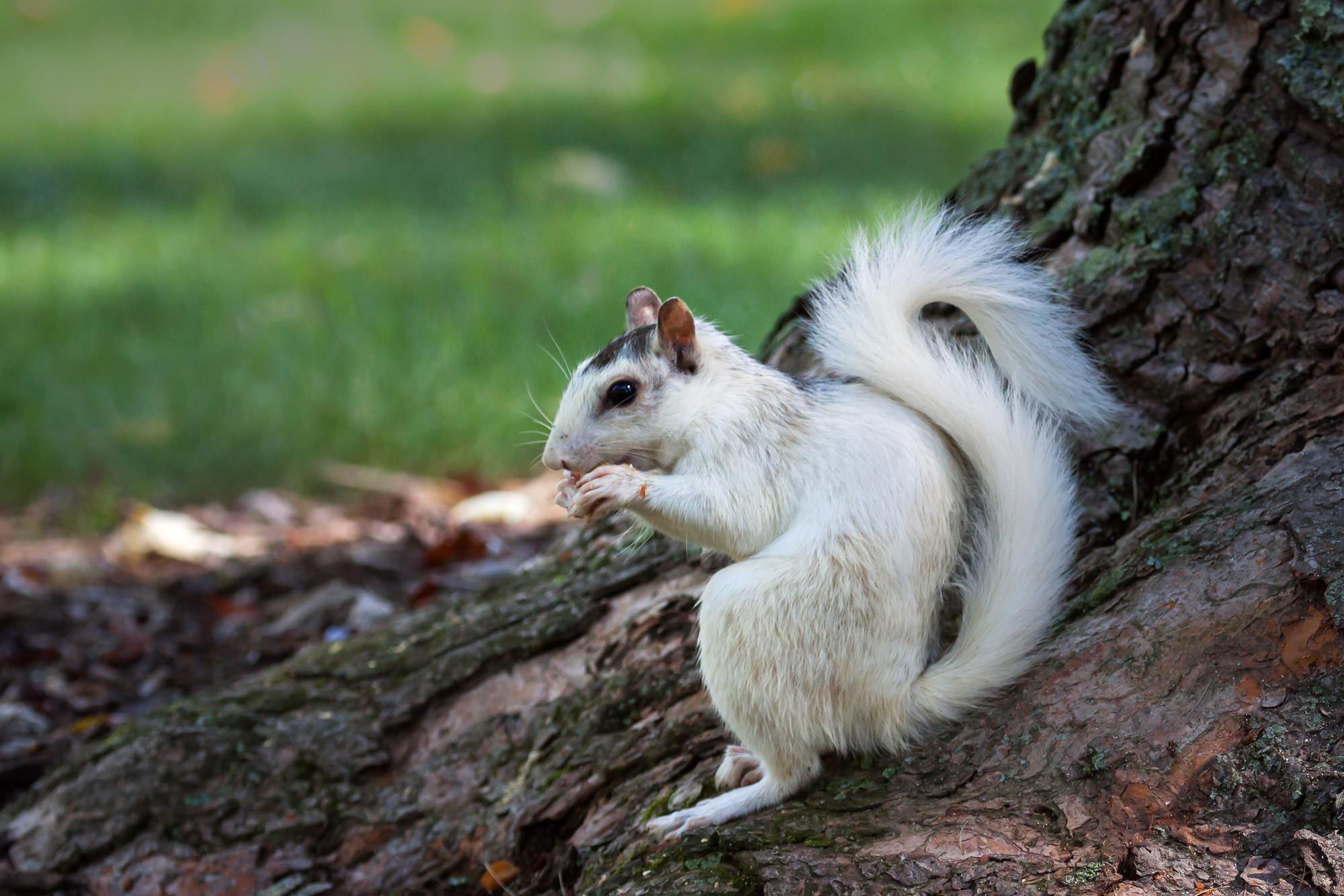 White Squirrel, North Carolina, Pisgah, limited edition, photograph, fine art, wildlife, photo