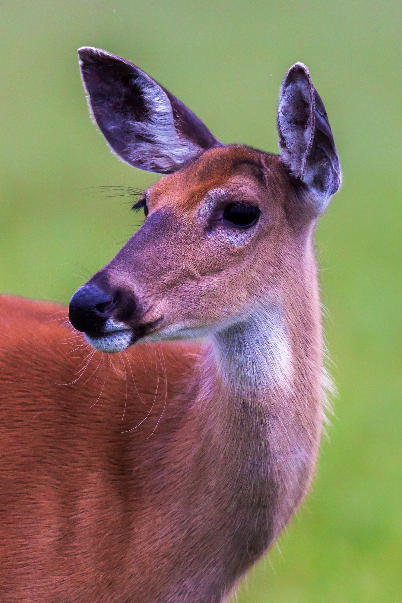 Whitetail Deer Fine Art Photography A Limited Edition photograph of a closeup of a very gentle looking Whitetail doe at Shenandoah...
