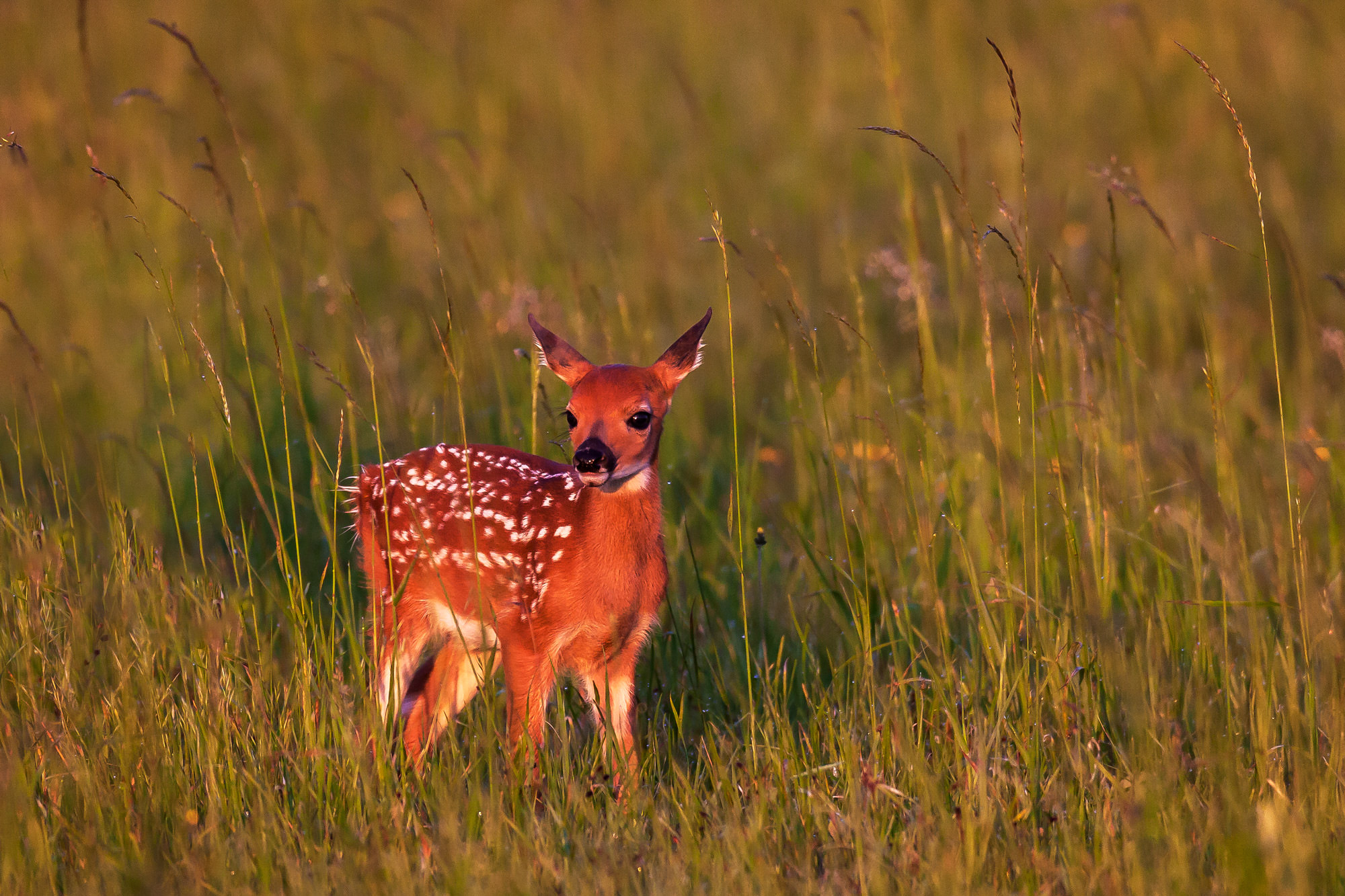 Fawn, Whitetail, Deer, Fawn, Virginia, Shenandoah, limited edition, photograph, fine art, wildlife, photo