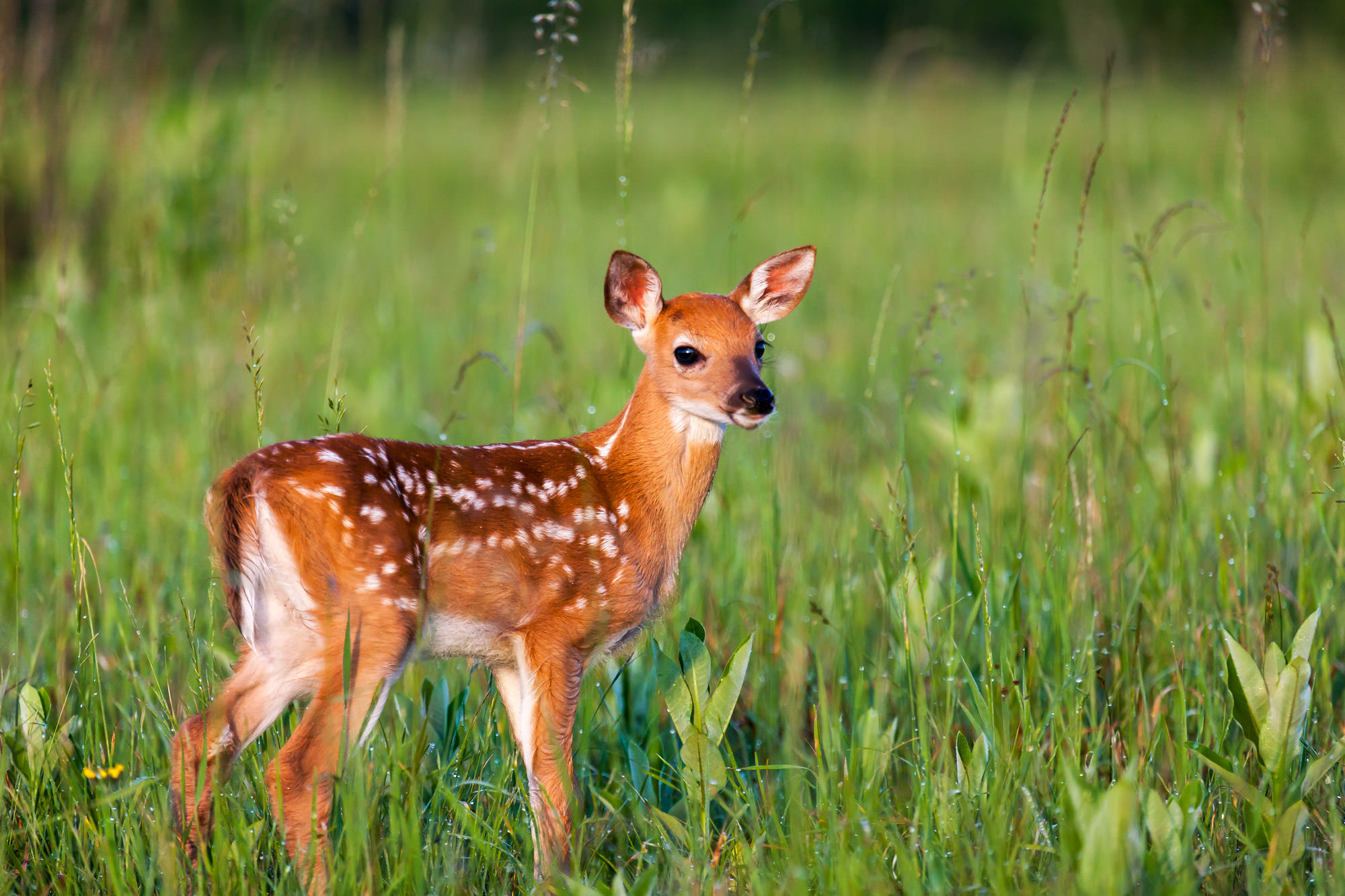 Whitetail Deer Fine Art Photography A Limited Edition photograph of a Whitetail Deer fawn standing in the green field at Shenandoah...