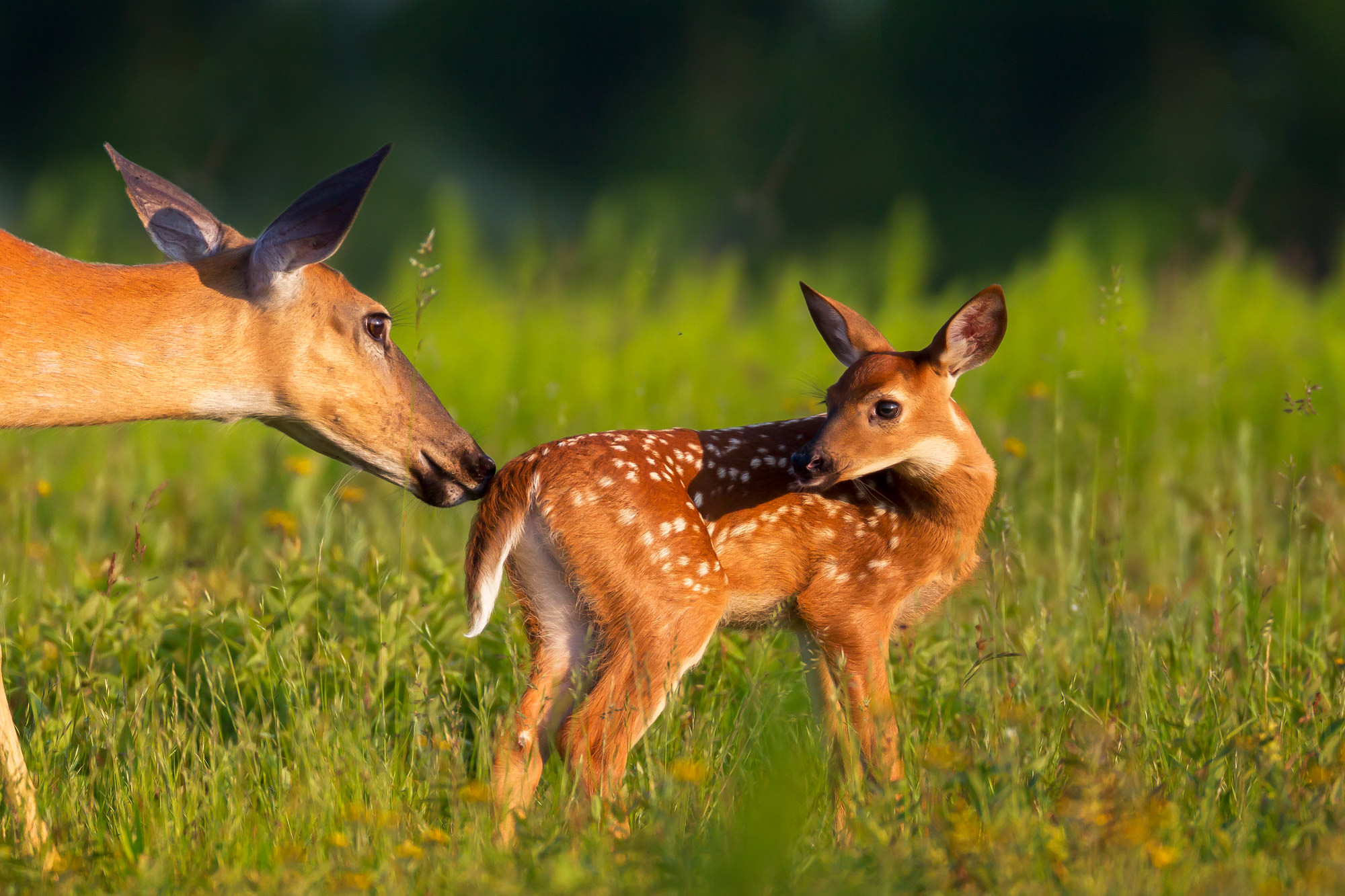 Fawn, Whitetail, Fawn, Virginia, Shenandoah, limited edition, photograph, fine art, wildlife, photo