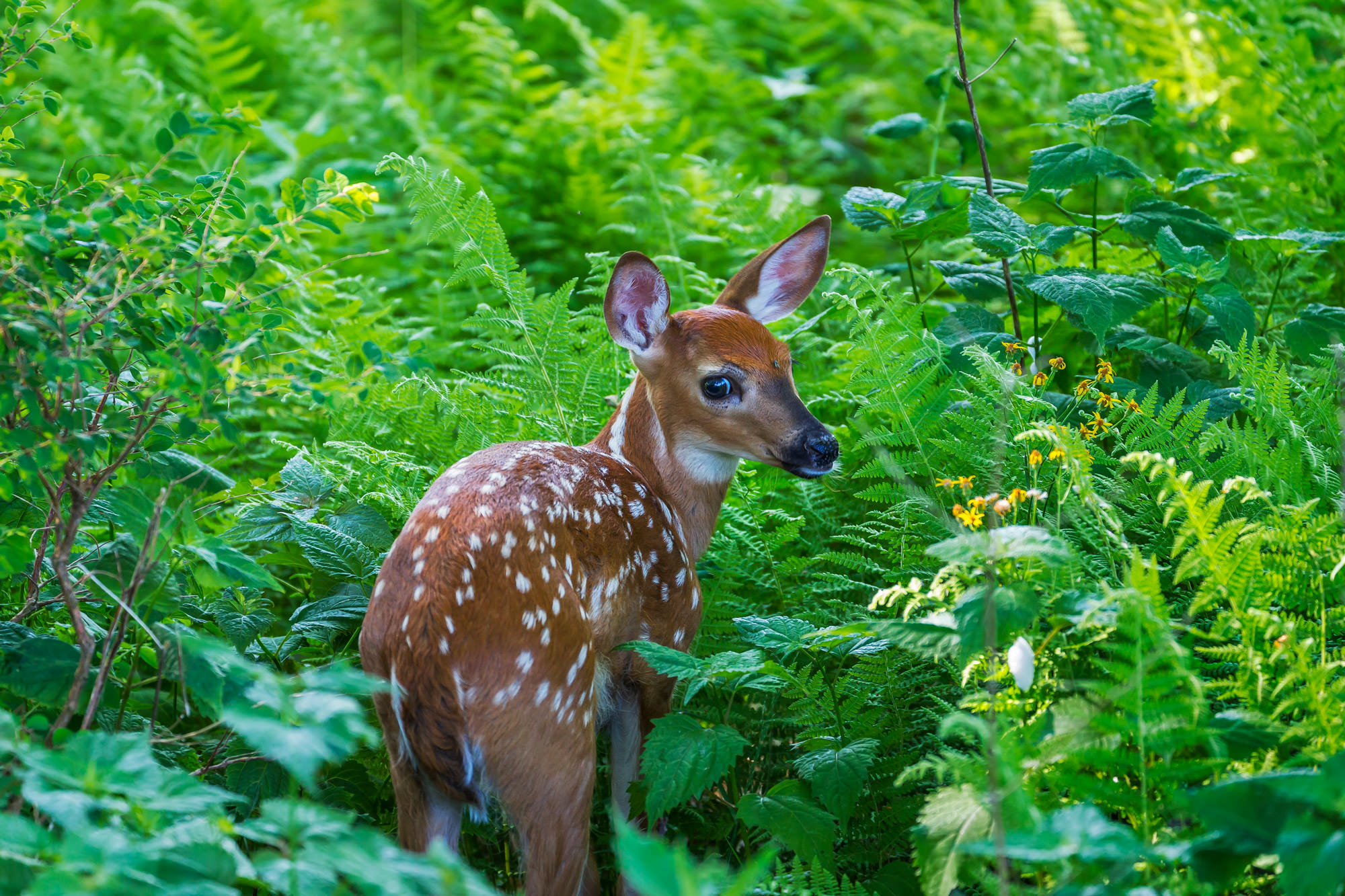 Whitetail Deer Fine Art Photography A Limited Edition photograph of a Whitetail Deer fawn stopping to take a look back at Shenandoah...