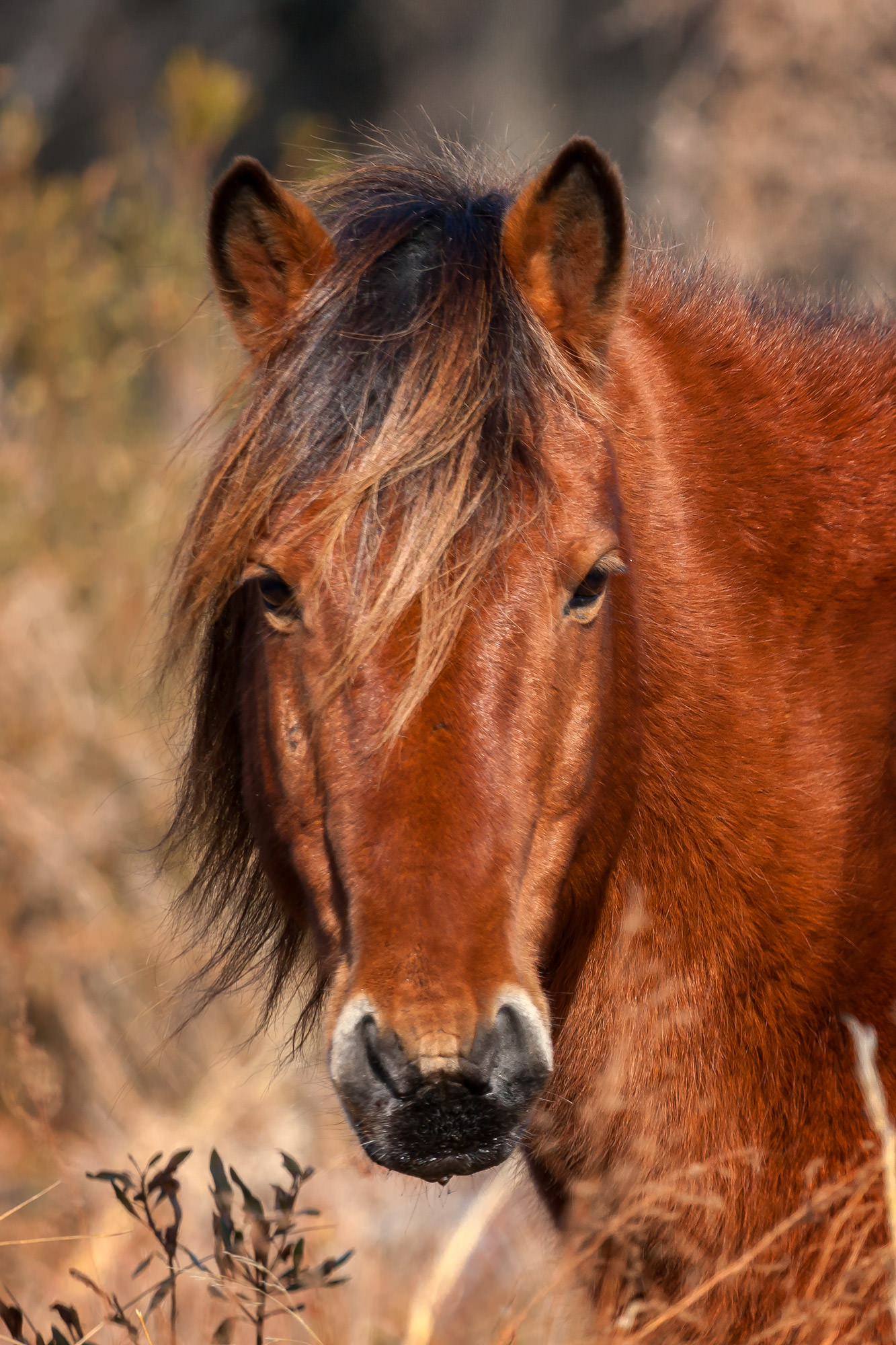 Wild Horse Fine Art Photography A Limited Edition photograph of a Wild Horse having a look of confidence at Chincoteague NWR...