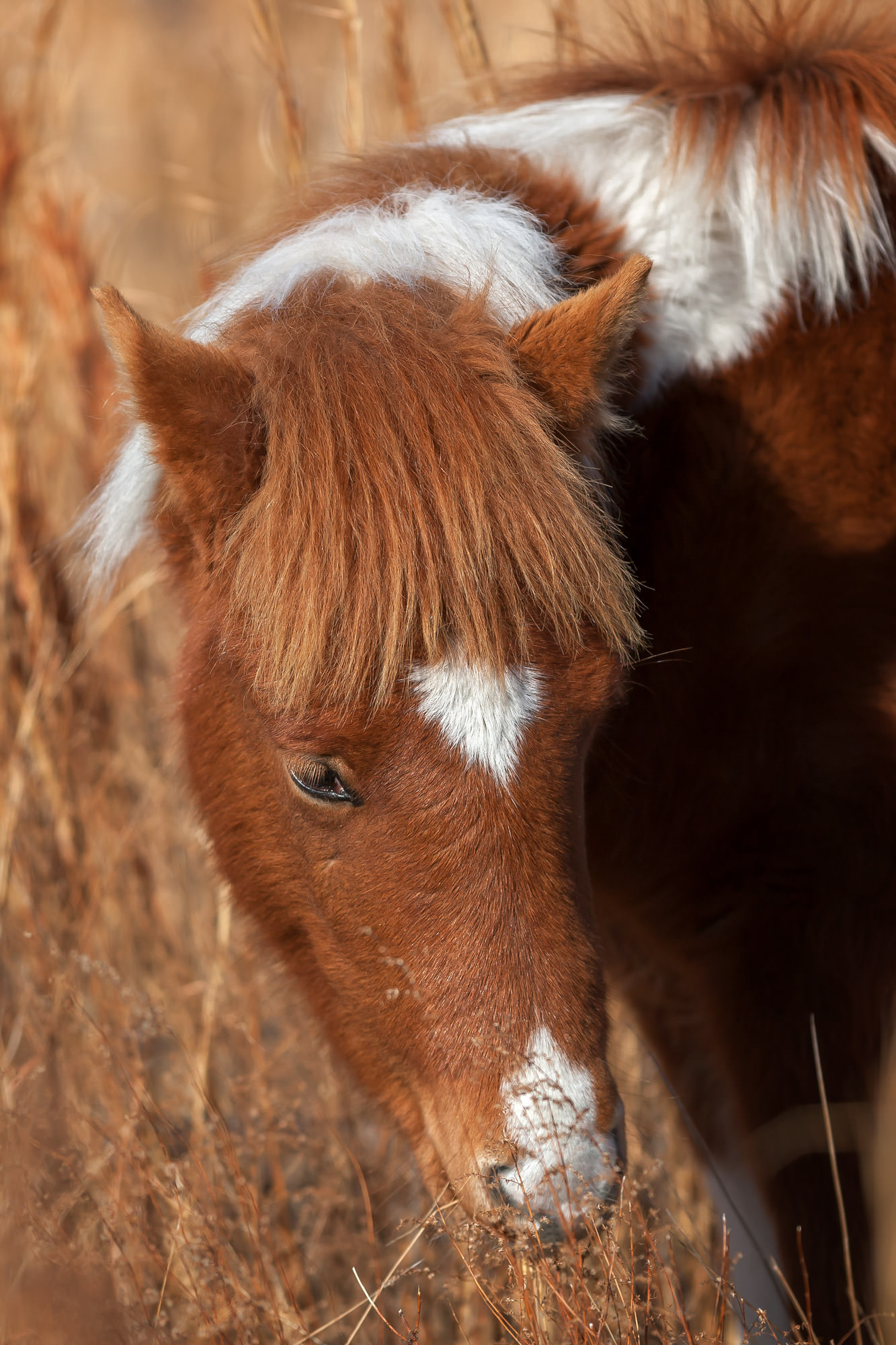 Wild Horse Fine Art Photography A Limited Edition photograph of the face of a Wild Horse pony at Chincoteague NWR in Virginia...