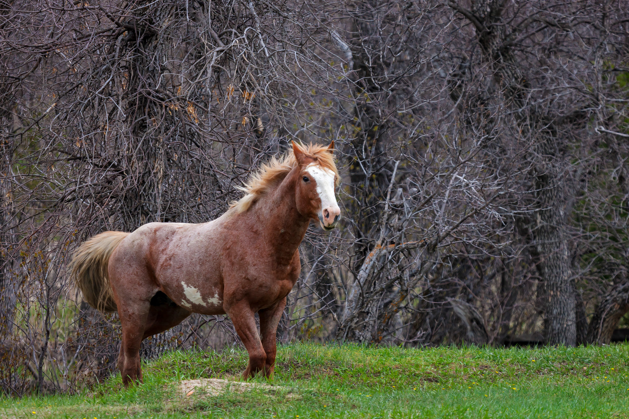 North Dakota, Wild Horse, Theodore Roosevelt, National Park, limited edition, photograph fine art, wildlife, photo