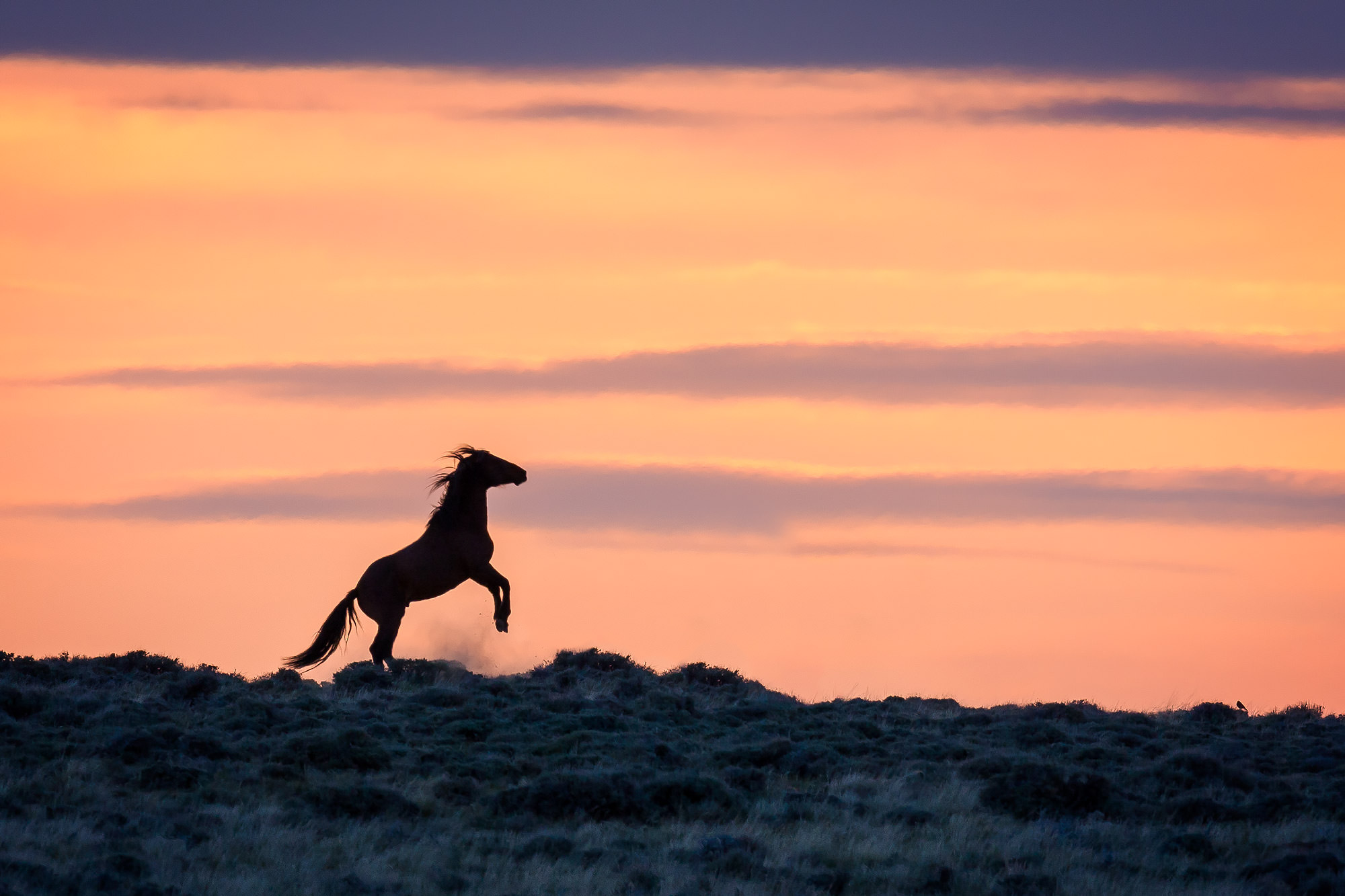 Wild Horse Fine Art Photography A Limited Edition photograph of a Wild Horse raring up in the pre-dawn sunrise light in Southern...