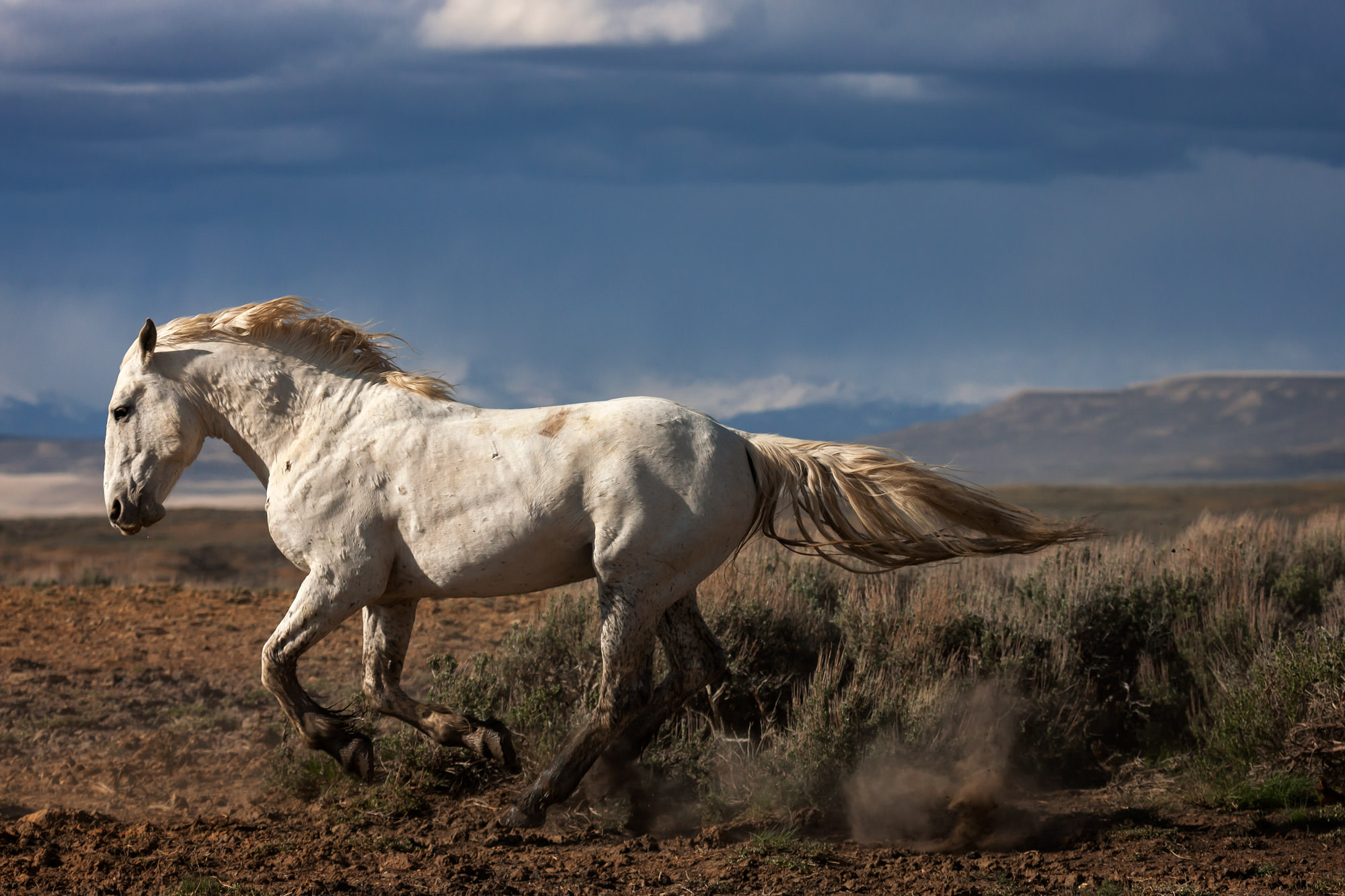 Wild Horse Fine Art Photography A Limited Edition photograph of a white, Wild Horse galloping and kick up dust in Southern Wyoming...
