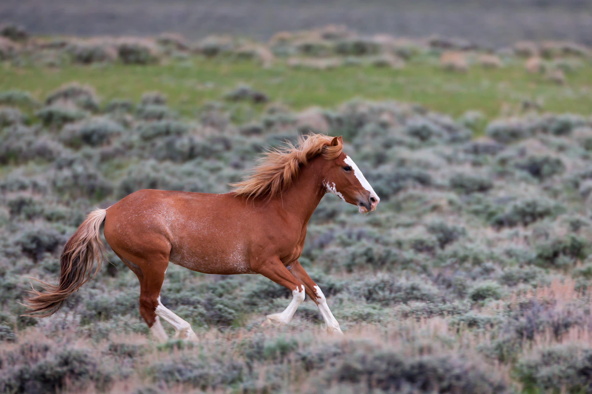 Wild Horse Fine Art Photography A Limited Edition photograph of a Wild Horse galloping along in an open field at Theodore Roosevelt...