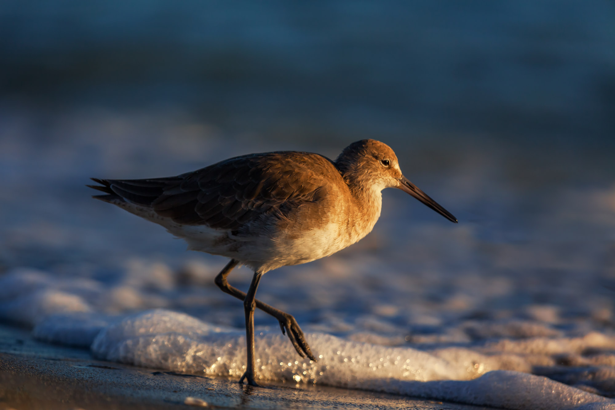 Willet, Florida, beach, limited edition, photograph, photo
