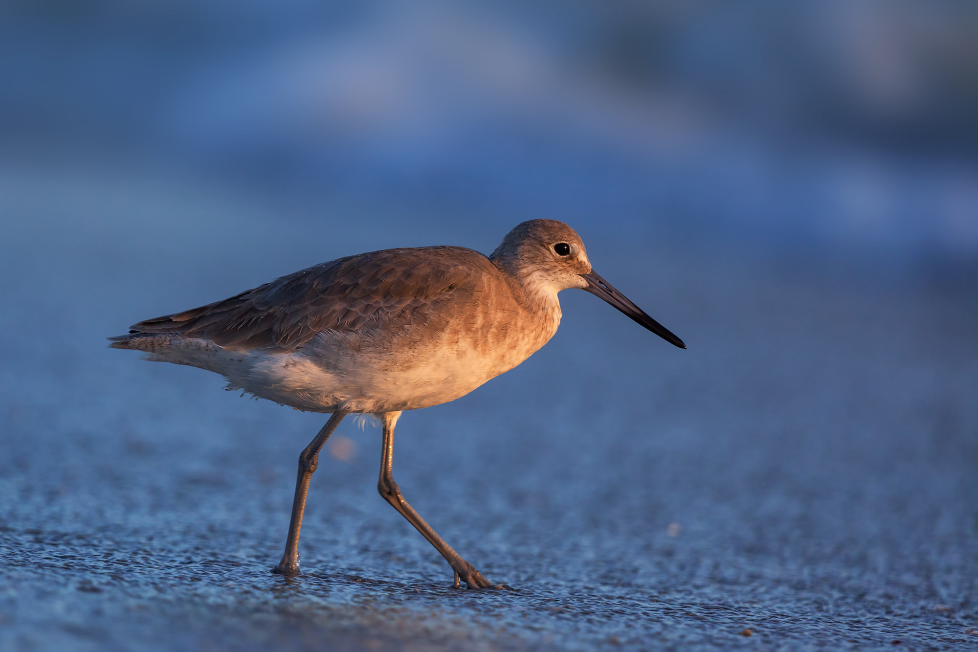 Shore Bird Fine Art Photography A Limited Edition photograph of a Willit on the beach approaching the water in Southwest Florida...