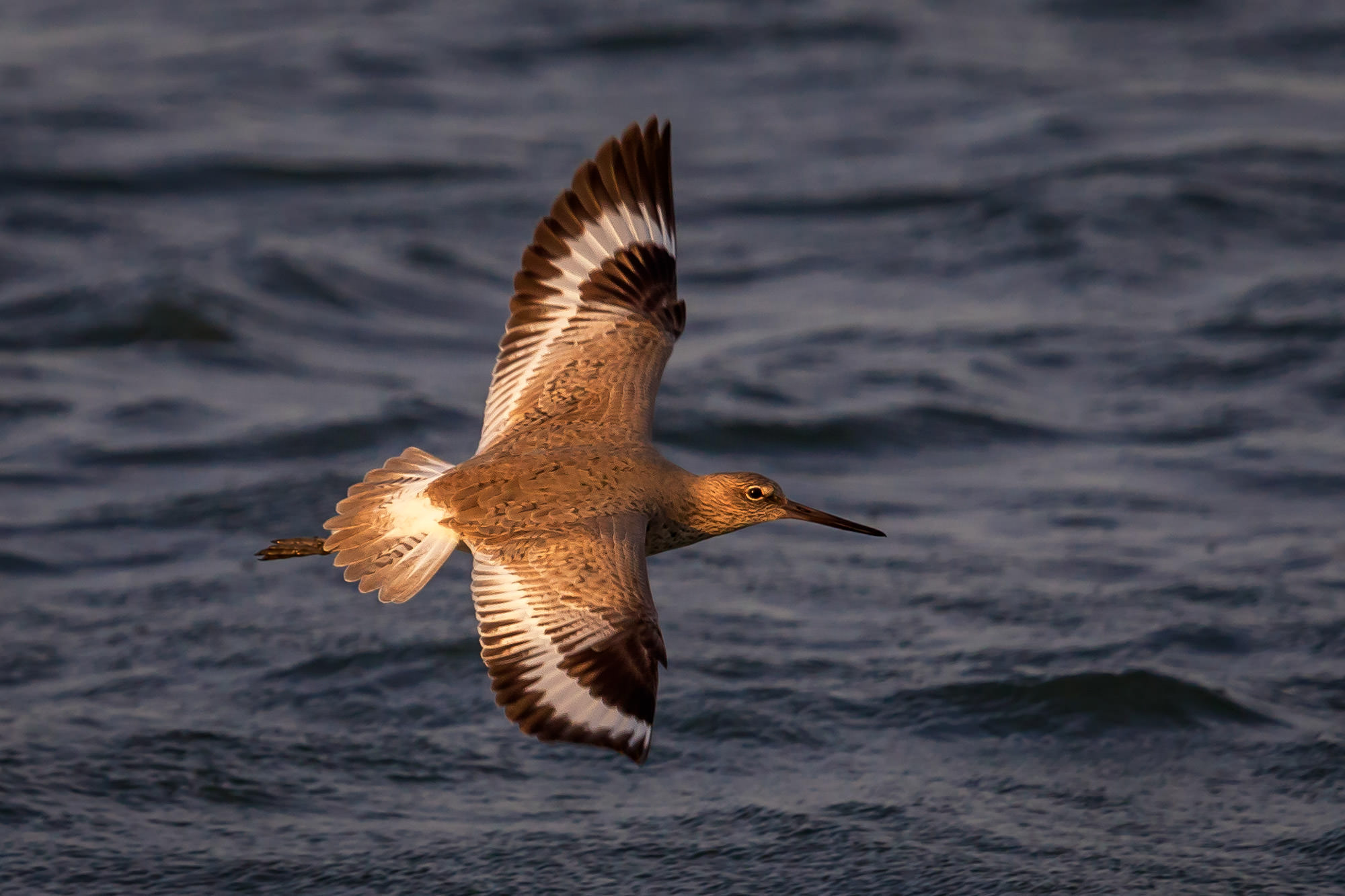 Willet, Florida, flight, limited edition, photograph, photo