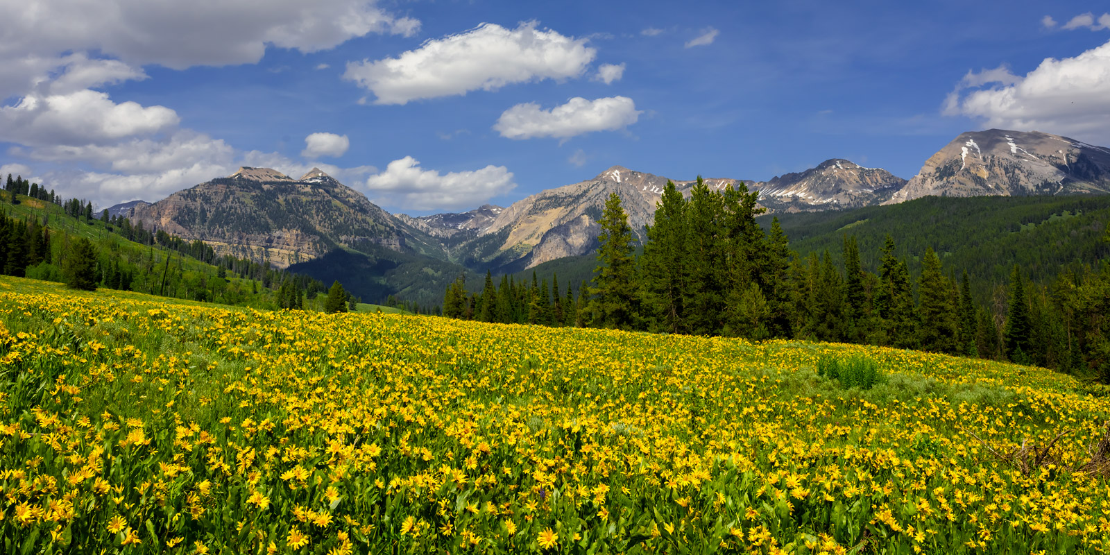 Yellow balsomroot flowers and mountains in wyoming