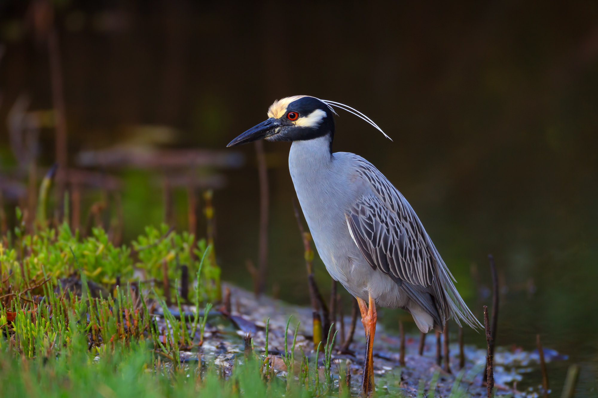 Heron, Yellow Crowned, Night Heron, Florida, limited edition, photograph, fine art, wildlife, bird, photo